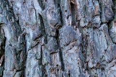 Doorstane barstte de de schors krachtige oude eiken boom van de patroonboom diepe voren baseert stijve plattelander stock foto