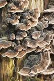 Doorstane boomboomstam met paddestoelen Royalty-vrije Stock Afbeeldingen