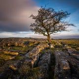 Doorstane haagdoornboom in de Dallen van Yorkshire Stock Fotografie