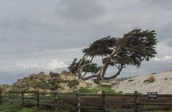 Doorstane Monterey-Cipresbomen royalty-vrije stock afbeeldingen