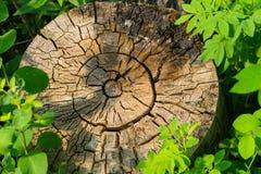 Doorstane oude boomstomp Stock Afbeeldingen