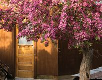 Doorway To Garden Shed and Crab Apple Tree. Doorway To Garden Shed With Crab Apple Tree In Pink Blooms Backyard Scene royalty free stock images