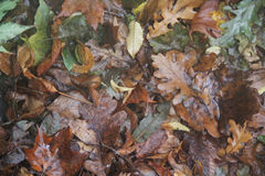 Doorweekte de herfstbladeren Stock Fotografie