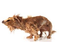 Doorweekte het schudden hond. royalty-vrije stock foto