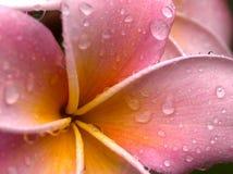 Doorweekte Plumeria Royalty-vrije Stock Afbeelding