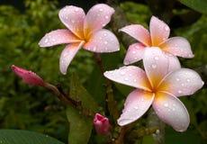 Doorweekte Plumeria Royalty-vrije Stock Fotografie
