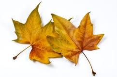 Doorweven bladeren Stock Afbeeldingen