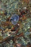 Doorzichtige flatworm op rotsgezicht Royalty-vrije Stock Afbeelding