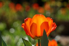 Doorzichtige Oranje Tulp Stock Foto