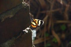 Doorzichtige vlinder Mariposatranslãºcida Stock Afbeeldingen