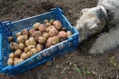 Doos met aardappels en een fox-terrier Stock Foto's