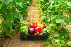 Doos met groenten in een serre Stock Fotografie