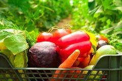 Doos met groenten in een serre Royalty-vrije Stock Foto's
