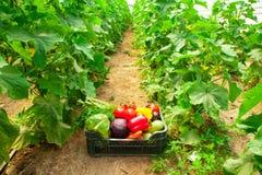 Doos met groenten in een serre Stock Foto's
