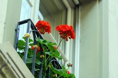 Doos met rode geranium, traditionele decoratie van Vensters, Bern, stock fotografie