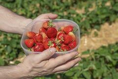 Doos van rode rijpe aardbeien die in handen op een aardbeigebied worden gehouden stock afbeelding