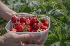 Doos van rode rijpe aardbeien die in handen op een aardbeigebied worden gehouden stock afbeeldingen