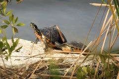 Doosschildpadden royalty-vrije stock afbeeldingen