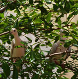2 Doov на дереве Стоковая Фотография RF