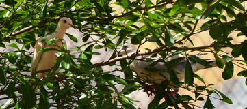 2 Doov auf Baum Lizenzfreie Stockfotos