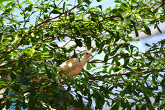 Doov auf Baum Stockfotografie