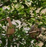 2 Doov en árbol Fotografía de archivo libre de regalías