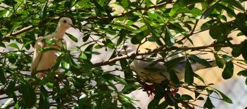 2 Doov sull'albero Fotografie Stock Libere da Diritti