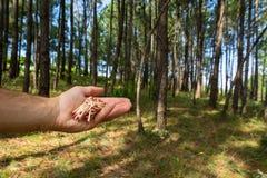 Dopasowania w ręki i pinetree lesie obraz royalty free
