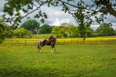 Dopatrywanie koń z chować Obrazy Stock