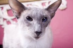 dopatrywanie kota dopatrywanie fotografia royalty free