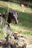 Dobermann. A dog is sunbathing on a sunny Day stock image