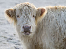 Dopey highland cow in frost Royalty Free Stock Image