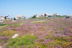 Dopheide bij de rotsachtige kust van Bretagne, Frankrijk Stock Fotografie