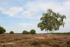 Dopheide in landschap Stock Foto