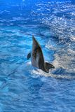 Dophin Royalty Free Stock Photo