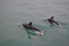 Dophins 图库摄影
