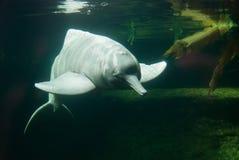 Doplhin do Rio Amazonas Foto de Stock Royalty Free