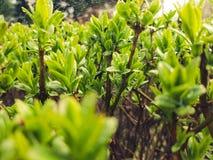Dopo che gocce di pioggia sul cespuglio verde fresco con le piccole foglie e ragnatela Fotografie Stock