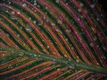 Dopo che una tempesta di pioggia le goccioline della tenuta di Cannas di acqua sulle foglie immagini stock