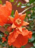 Dopo il fiore del melograno fotografie stock