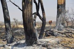 Dopo il fuoco del cespuglio Fotografia Stock Libera da Diritti