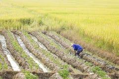 Dopo il raccolto del grano, i peperoncini rossi crescenti dell'agricoltore Immagini Stock Libere da Diritti