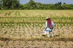 Dopo il raccolto del grano, i peperoncini rossi crescenti dell'agricoltore Fotografia Stock Libera da Diritti