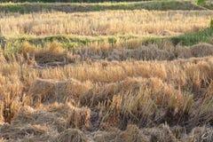 Dopo il raccolto del riso Fotografie Stock Libere da Diritti