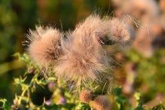Dopo la fioritura - trasformazione del cardo selvatico Immagini Stock Libere da Diritti
