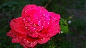 Dopo la rosa rossa della pioggia con le gocce di acqua Fotografia Stock Libera da Diritti