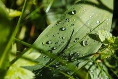 Dopo le gocce di pioggia sull'piante Immagini Stock Libere da Diritti