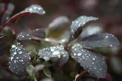 Dopo le goccioline della pioggia sui cespugli Immagine Stock