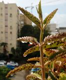 Dopo pioggia Gocce di pioggia con la riflessione di costruzione invertita sulle foglie della pianta del kalanchoe su fondo urbano fotografie stock