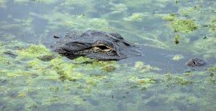 doppad alligatorlake Royaltyfria Bilder